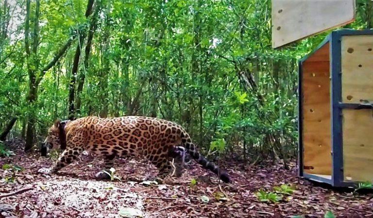 Jaguar es liberado en la Reserva de Sian Ka'an, en Quintana Roo