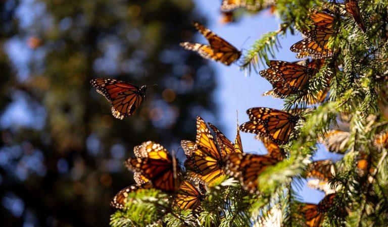 Población de mariposas Monarca disminuyó 26% en santuarios de México